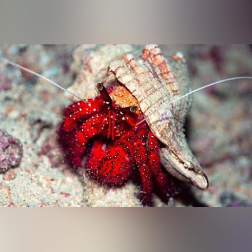 Red Hermit hair Crab