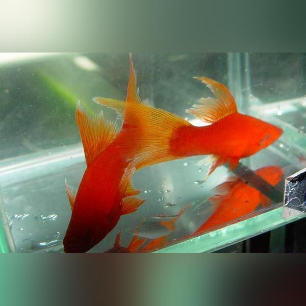 Red Red-eye Lyretail Swordtail