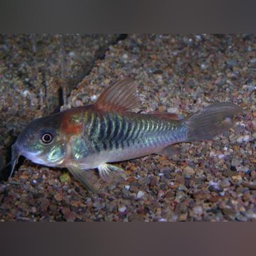 Red Sailfin Cory