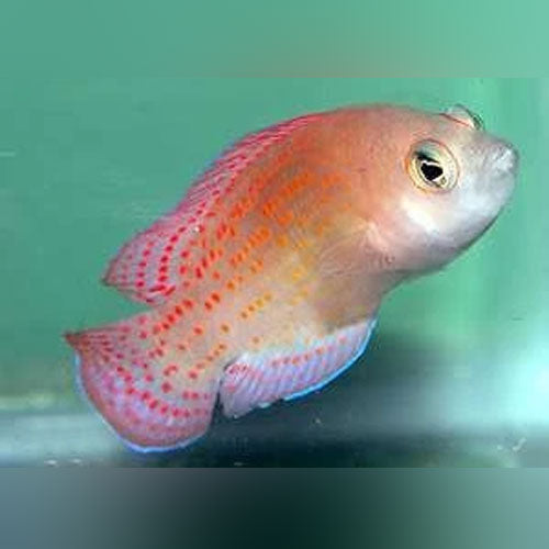 Red Spot Dottyback - AquariumFishSale.com