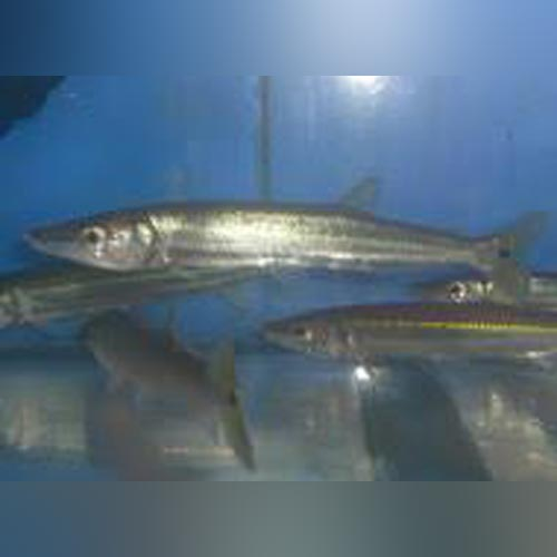 Freshwater Barracuda