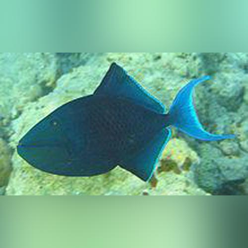 Red Tooth Niger Triggerfish