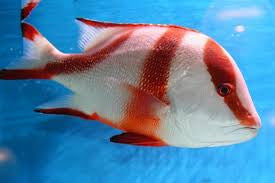Red Emperor Snapper (medium)