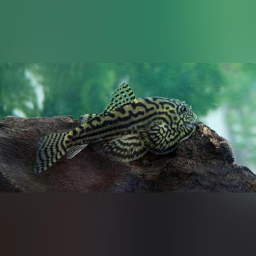 Hillstream Loach | Reticulated Hillstream Loach Aquariumfishsale Com Live Tropical