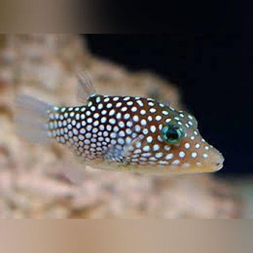 Sharp Nose White Spot Puffer