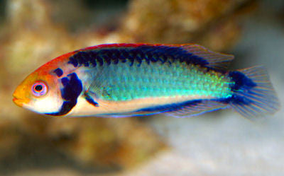 Solorensis Fairy Wrasse (male)