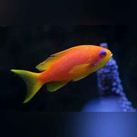 Squamipinis Blue Eye Anthias