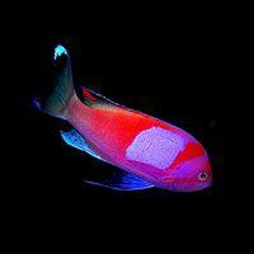 Squareback  Anthias (Male)