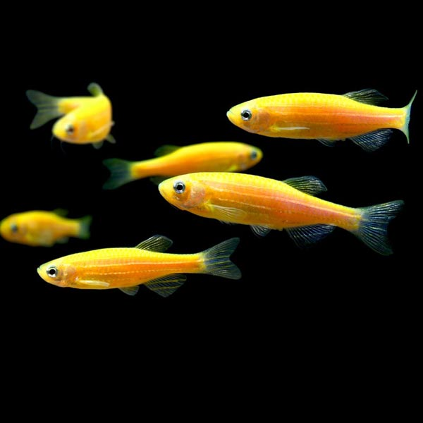 Sunburst Orange GloFish Danio