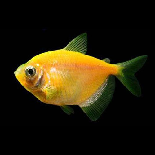 Sunburst Orange GloFish Tetra