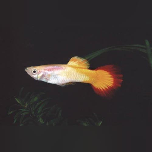 Tequila Sunrise Guppy (Pair)