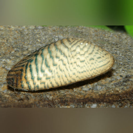 Tiger Striped Clam