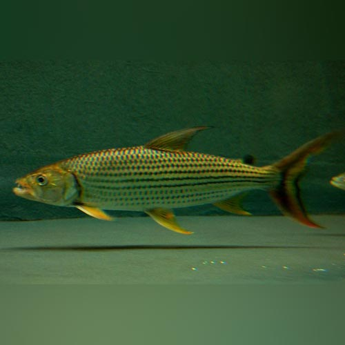 Tigerfish Vittatus