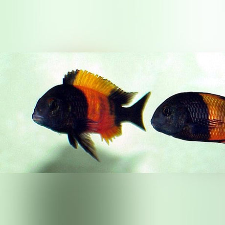 Tropheus Moorii Red Banded