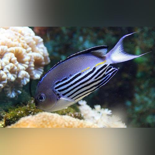 Watanabei Angelfish (Male)