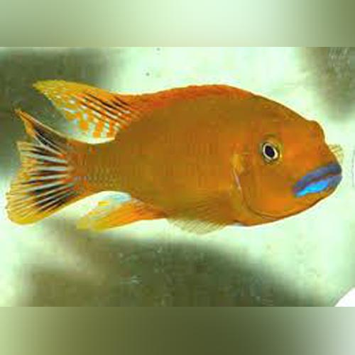 Williamsi Blue Lips Cichlid