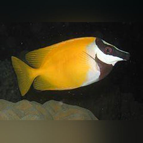 Yellow Foxface Rabbitfish