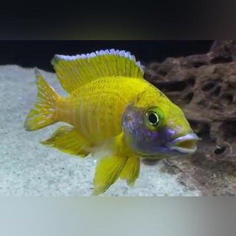 Peacock Cichlid Yellow
