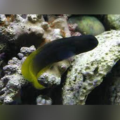 Yellowtail Blenny