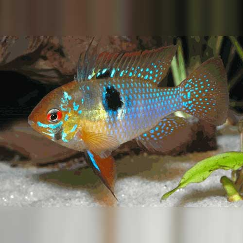 German Blue Ram (Microgeophagus ramireze)
