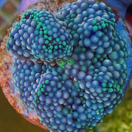 Blue Florida Ricordea Frag