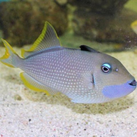 Blue Jaw Triggerfish (female)