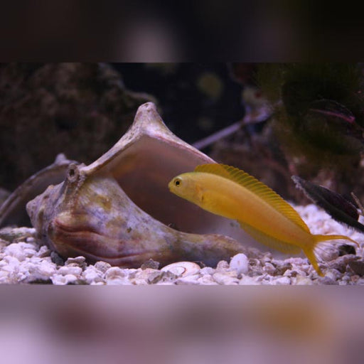 Canary Blenny