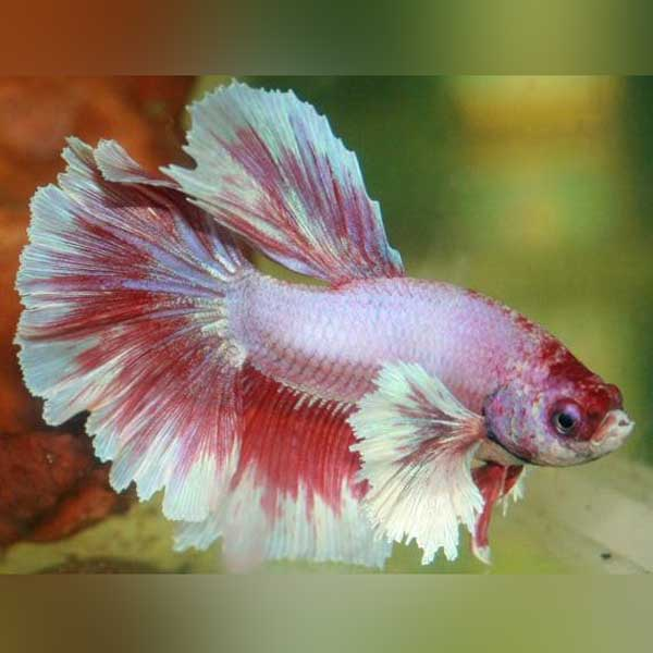 Dumbo Ear Betta Male