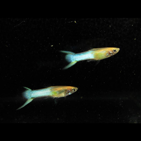 Endler Sky Blue - Male