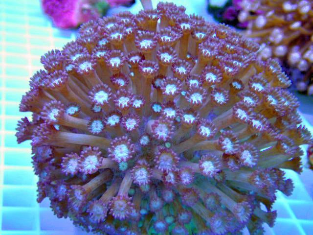 Goniopora Purple Coral