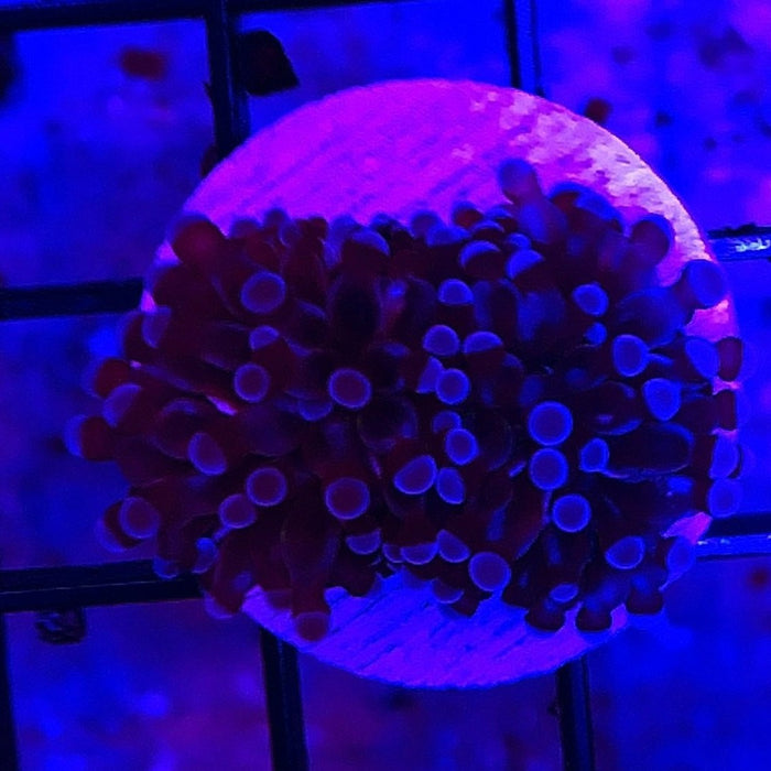 Cristata Torch Coral frags