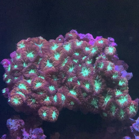 Wellsi Red Blastomussa Coral