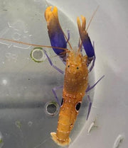 Michael Pistol Shrimp