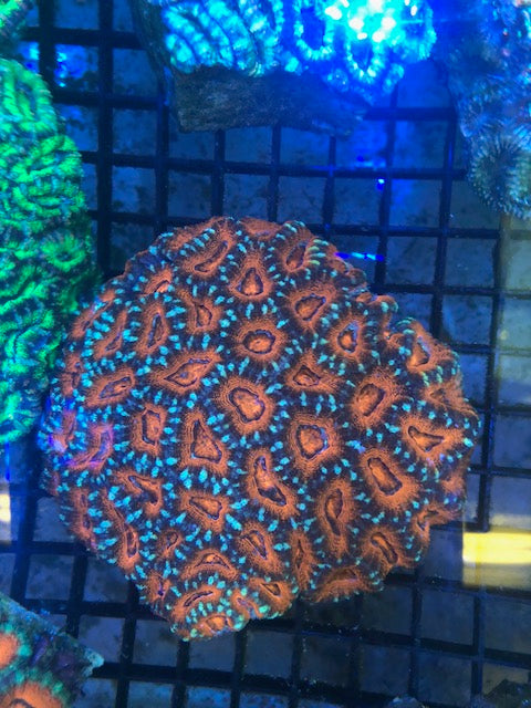 Orange/Green Crush Acan Echinata Coral