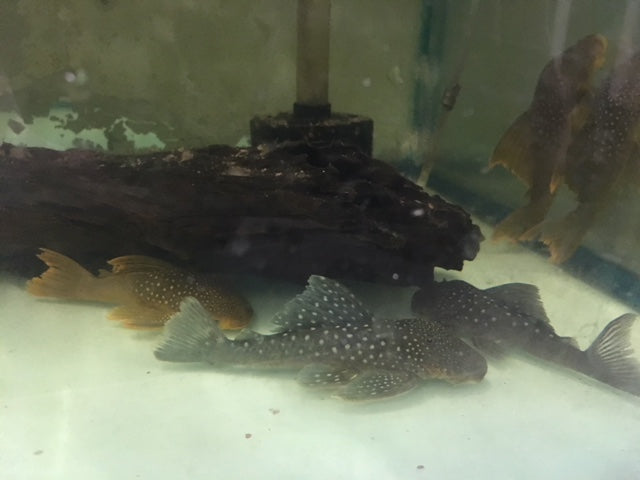 L-200 Green Phantom Pleco
