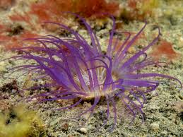 Purple Tube Anemone