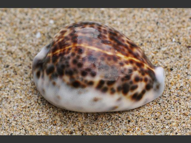 Tiger Cowrie (Large)