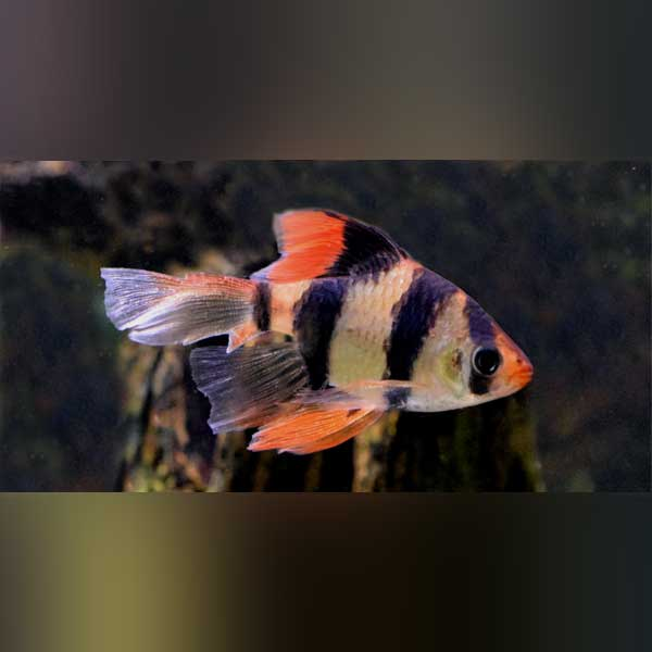 Tiger Barb Long Fin