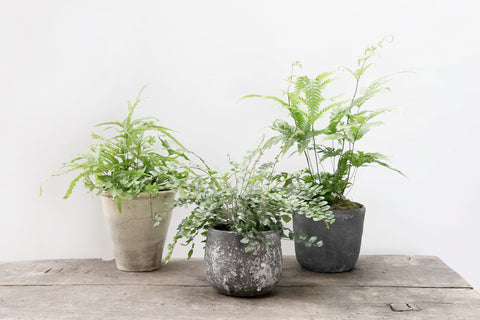 3 Mixed Indoor Ferns