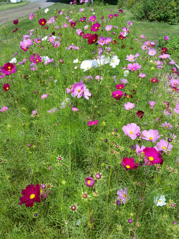 Flower, Cosmos, Sensation Mix #9026