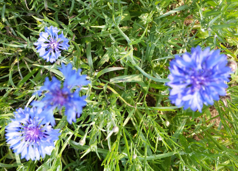 Flower, Cornflower, Blue Boy   #9031