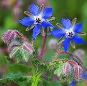 Herb, Borage   #4003  CO1