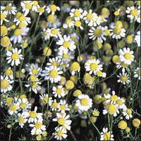 Herb, Chamomile, German (Matricaria chamomilla)  #4008   CO1