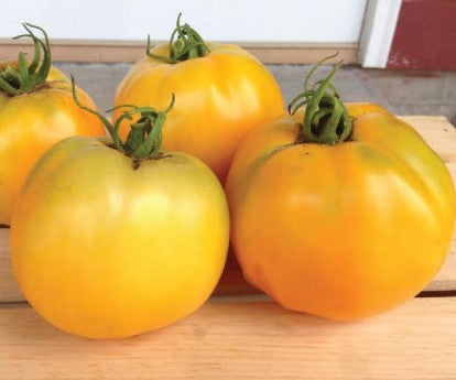 Tomato, Golden Jubilee Indeterminate #8034  CO1