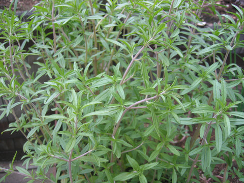 Herb, Summer Savory   #4021   CO2