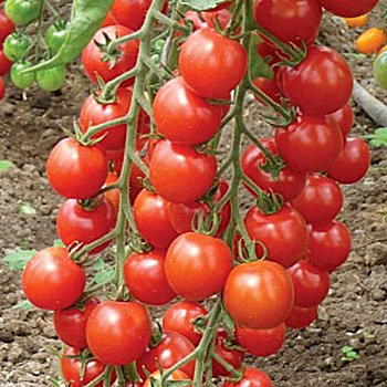 "Tomato, A Grappoli D""Inverno Semi-Indeterminate #8038  CO1"