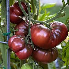 Tomato, Black Krim  #8002  CO2