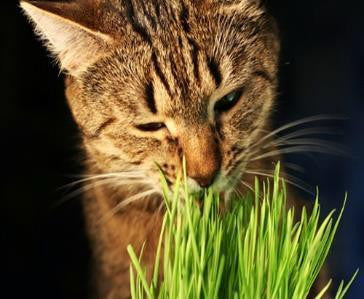 Cat Grass   #4018   CO2