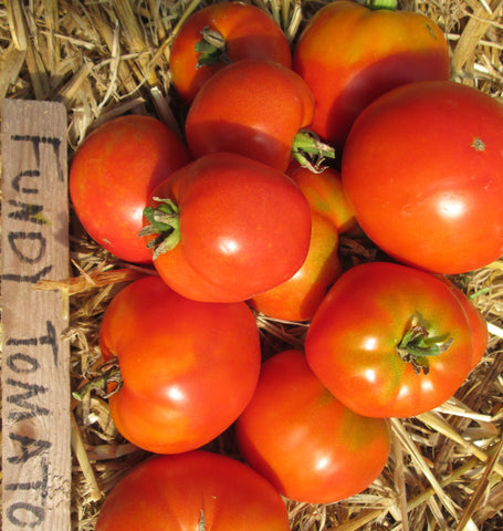 Tomato, Fundy  #8031   CO1