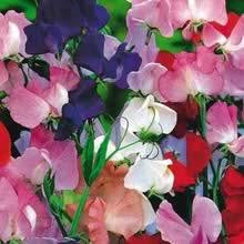Flower, Sweet Pea, Royal Family Blend  #9002